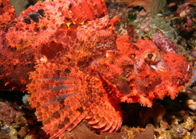 Scorpion - fish of course